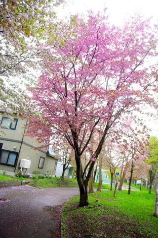 11.5.14.蝦夷山桜2.JPG
