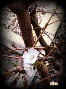 14.4.28.千島桜1.jpg