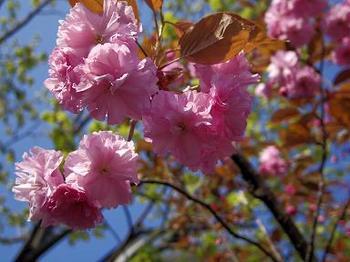 12.5.18.蝦夷山桜1.JPG