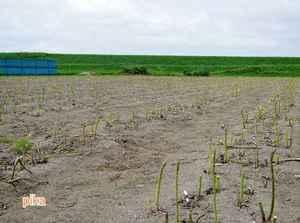 アスパラ収穫2.JPG