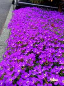 14.5.15.紫ナズナ.JPG