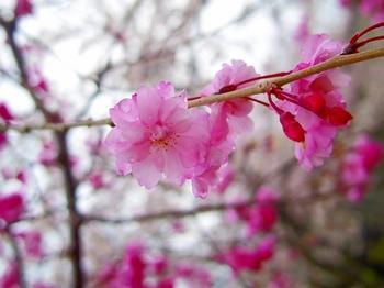 IMGP0034カンヒザクラ寒緋桜s.jpg