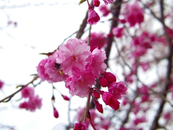 IMGP0035カンヒザクラ寒緋桜s.jpg